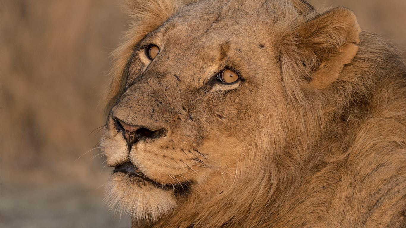 Lion Safari Kruger National Park