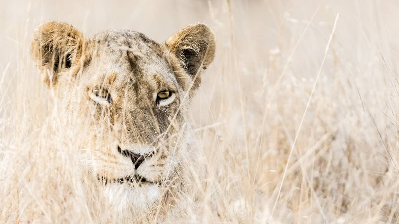 Kruger National Park – Lion Safari