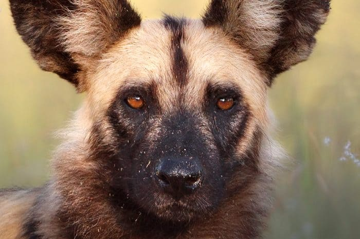 Kruger National Park – Wild Dog Safari