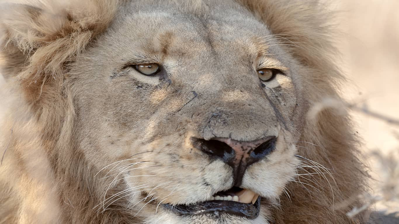 Kruger National Park: Lion experience