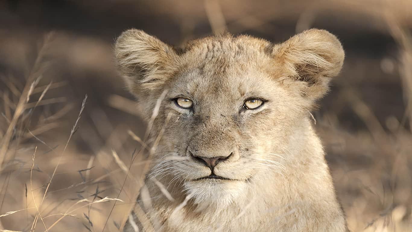 Kruger National Park: Lion Safari 3/12 Febbraio 2019