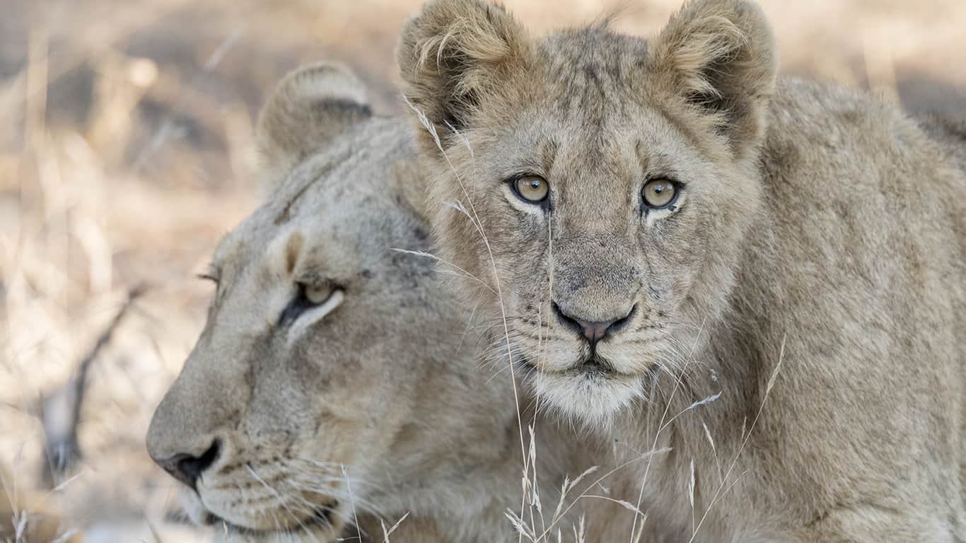 Kruger National Park: Lion Safari  1/10 Aprile 2019