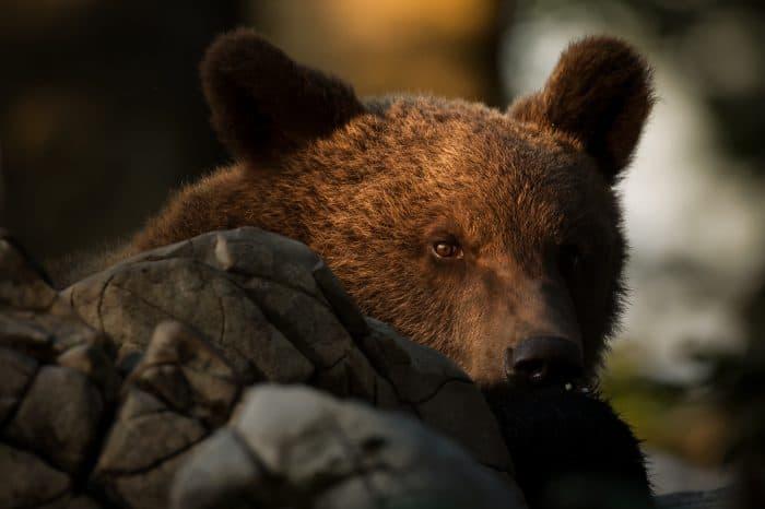 Slovenia – Bear Photo Tour