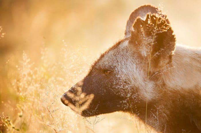 Kruger National Park – Wild Dog Photo Tour