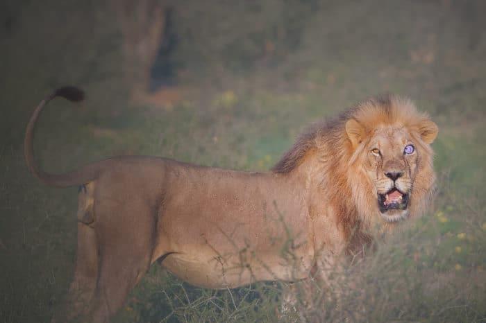 Viaggio fotografico Kgalagadi – Lions of the Kalahari
