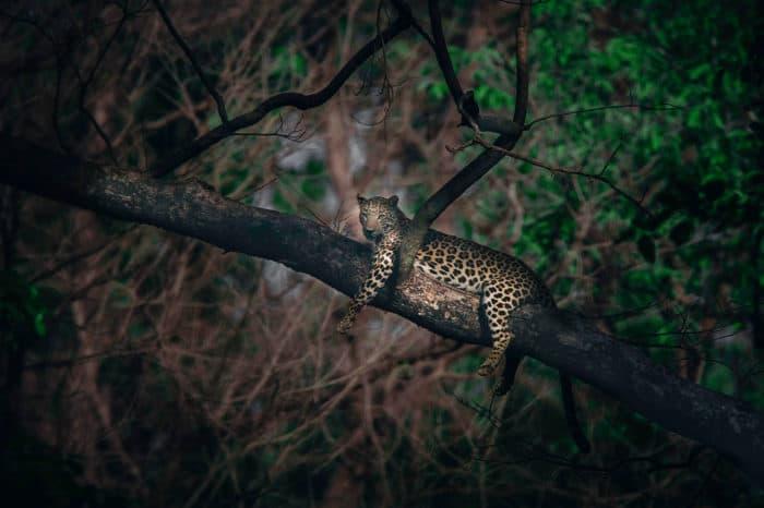 Viaggio fotografico India  – Speciale tigre e leopardo indiano (Pench – Kanha – Bandhavgarh)