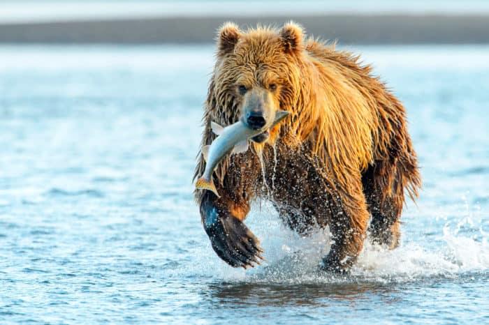 Viaggio fotografico Alaska – Gli orsi di Kodiak