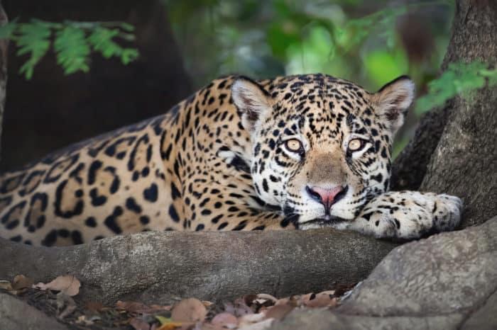 Viaggio fotografico Pantanal – Jaguar photo safari ( Porto Jofre )